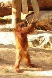 ett litet behandla som ett barn orangutanget spelas av en brandslang arkivfoton