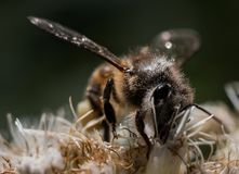 Ett litet bi på en blomma Fotografering för Bildbyråer
