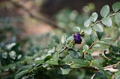 Ett litet blått-violett bär bland de gröna sidorna Royaltyfria Foton