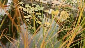 Ett litet damm i en parkera, dekorativt damm, dekorativ bro över ett damm, näckrors i vattnet, på bakgrunden lager videofilmer