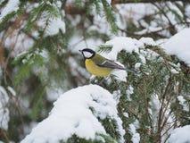 Ett litet fågelsammanträde på filialen av sörjer trädet Royaltyfri Foto