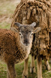 Ett litet får med horn Arkivbild
