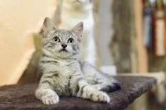 Ett litet, grå strimmig kattkattunge för byracka ligger på soffan royaltyfri foto