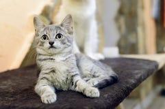 Ett litet, grå strimmig kattkattunge för byracka ligger på soffan fotografering för bildbyråer