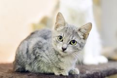 Ett litet, grå strimmig kattkattunge för byracka royaltyfri bild