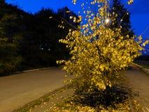 Ett litet höstträd Arkivbild