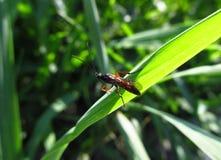 Ett litet kryp på grässtjälk Arkivfoton