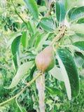 Ett litet päron som växer på en lem Royaltyfri Fotografi