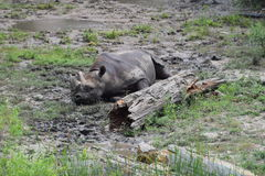 Ett liv för noshörning` s Royaltyfri Fotografi
