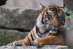 Ett liv för tiger` s Royaltyfria Foton
