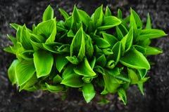 Ett ljust - grön buske av hostaen dekorativ växt arkivfoton