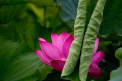 Ett lockigt lotusblommablad blockerades framme av den blommande lotusblomman fotografering för bildbyråer