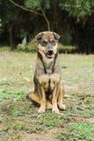 Ett lokalt brunt hundanseende royaltyfria foton