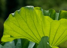 ett lotusblommablad Arkivfoton