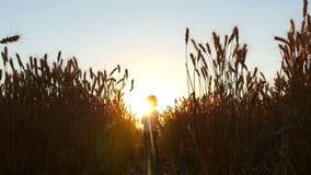 Ett lyckligt barn stöter ihop med vetefältet under solnedgång i en ultrarapid Sonen av en bonde i fältet för arkivfilmer