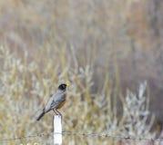 Lyckligt fjädra Robin sammanträde på staketstolpen Arkivbilder