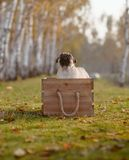 Ett lyckligt valpmopsanseende i en träspjällåda arkivfoton