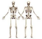 Ett mänskligt skelett Framdel- och baksidasikt Arkivbilder