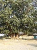Ett mångårigt träd för stor grönaktig skönhet royaltyfria foton