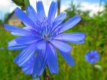Ett mörker - blå fältblomma royaltyfria foton