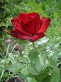 Ett mörker och röd rosblomma Arkivbilder