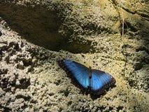 Ett mörker - slösa och svärta den Morpho fjärilen som vilar på Rock väggen Arkivbilder
