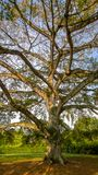 Ett majestätiskt tropiskt träd i en trädgård fotografering för bildbyråer