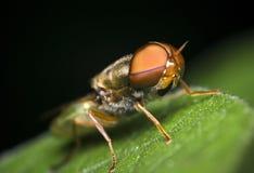 Ett makrofotografi av fruktflugan arkivbilder
