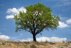 Ett mandelträd på den spanska slätten i den Burgos regionen arkivfoto