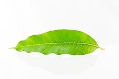 Ett mangoblad Arkivfoton