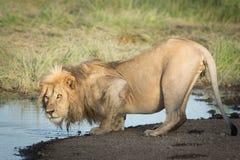 Ett manligt afrikanskt lejondricksvatten, Serengeti, Ndutu, Tanzania Royaltyfria Bilder