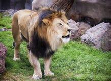 Ett manligt lejon, Panthera leo, konung av fän Royaltyfri Bild