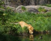 Ett manligt lejondricksvatten från ett damm Royaltyfri Fotografi