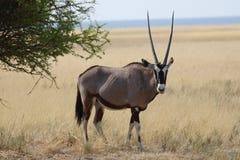 Ett manligt oryxantilop-/Gemsbokanseende i grässlätt Royaltyfri Fotografi