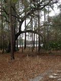 Ett maximum till och med träden Fotografering för Bildbyråer