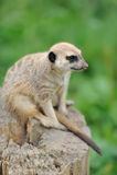 Meerkat anseende som är upprätt och ser vaket Royaltyfri Bild