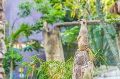 Ett meerkatanseende som är upprätt och ser vaket. Royaltyfri Bild