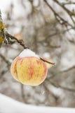 Ett moget äppleträd på visas, sisten av säsongen, första snö Arkivfoton