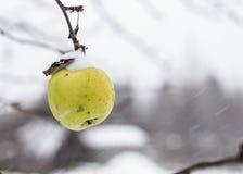 Ett moget äppleträd på visas, sisten av säsongen, första snö Royaltyfria Bilder