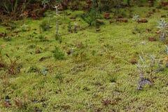 Ett mossigt skoggolv med mycket litet sörjer träd, gräs, laver och mossa på uddeBretonön arkivbilder