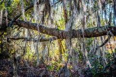 Ett mycket gammalt träd med långa filialer fäster till det i Orlando, Florida royaltyfri bild