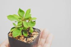 Ett mycket litet Euphorbiamiliiträd rymde milt på en hand på en mjuk vit bakgrund fotografering för bildbyråer
