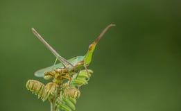 Ett mycket litet gräshoppasammanträde på en växtkamouflage Arkivbilder