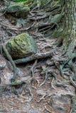 Ett mystiskt tilltrasslat träd rotar arkivbild