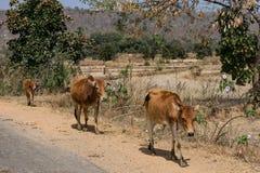Ett nära knäpp av indiska tjurar på den lantliga byn på den soliga dagen på sommarsäsong royaltyfri fotografi