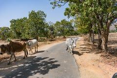 Ett nära knäpp av indiska tjurar på en lantlig by på den soliga dagen i sommarsäsong royaltyfri fotografi