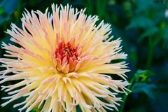 Ett närbildfoto av en härlig trädgårddahliablomma royaltyfri bild