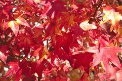 Ett närbildfoto av sidorna av ett lönnträd i hösten arkivbilder
