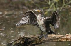 Ett nätt anseende för kormoranPhalacrocoraxcarbo på en inloggning mitt av en sjö som viftar med dess vingar, når att ha jagat und royaltyfri fotografi