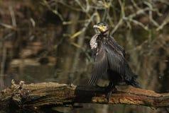 Ett nätt anseende för kormoranPhalacrocoraxcarbo på en inloggning mitt av en sjö som viftar med dess vingar, når att ha jagat und royaltyfria foton